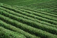 Tea Fields Of Hangzhou