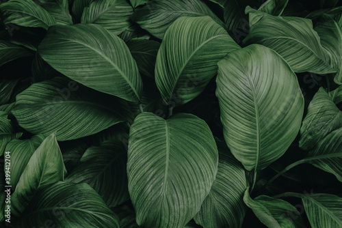 Stampa su Tela leaves of Spathiphyllum cannifolium, abstract green texture, nature background,