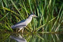 Bird, Young Black-crowned Night Heron Fishing In The Lake