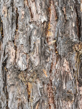 Old Wood Bark Texture Or Background.