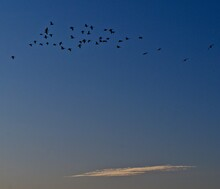 Canada Geese, Moving Out Of South East City Park To Feed In Nearby Fields From Canyon, Texas.