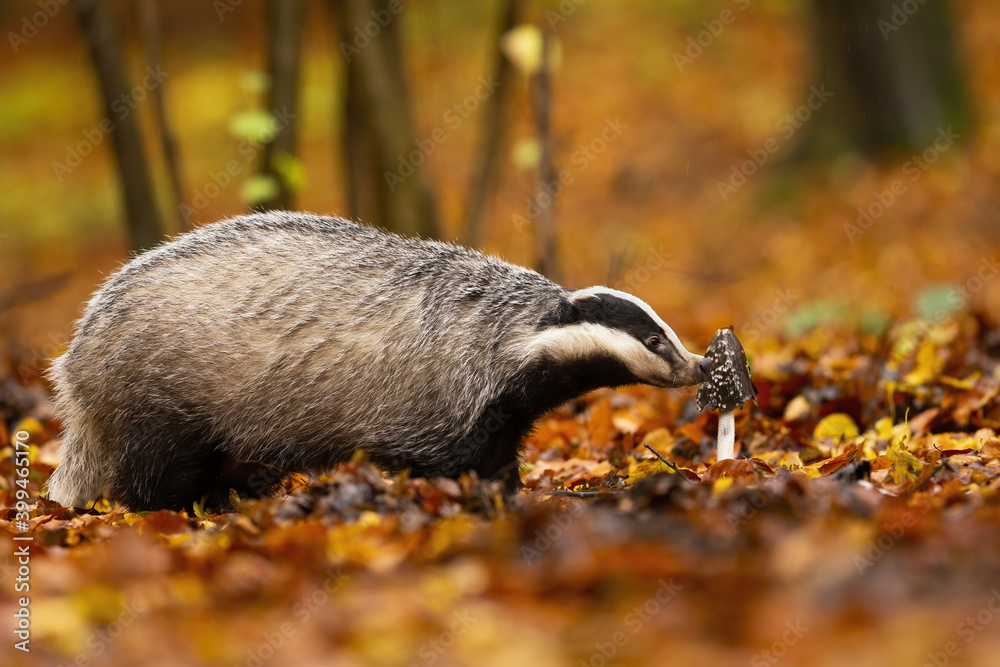 Fototapeta Curious european badger, meles meles, exploring the forest flora in autumn. Fluffy animal with small striped head smelling fungus. Cute nocturnal mammal out of its hole standing on the leaves.
