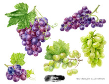 Grape Branches Big Set Watercolor Illustration Isolated On White Background