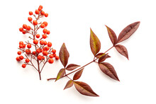 Nandina Domestica Isolated On White Background. Heavenly Bamboo With Beautiful Red Berries And Leaves