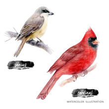 Cardinal And Lanius Birds Watercolor Illustration Isolated On White Background