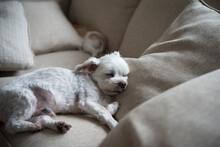 マルチーズ老犬 Old Maltese Dog