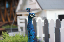 Graceful Blue Peacock Torso Profile With A Plumage On His Head