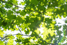 Fresh Green Oak Leaves In Forest Seen From Below With Rays Of Sun Shining Through
