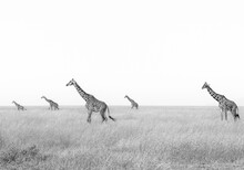A Group Of Giraffes Met In The Middle Of The Day - Serengeti National Park, Tanzania
