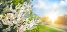 Beautiful Spring Landscape With Selective Soft Focus. Branches Of A Flowering Tree In Nature Park And  Rural Road Against Blue Sky With White Clouds And Bright Sunlight.