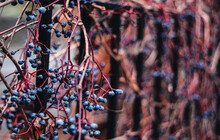 Dry Ivy Vines With Blue Berries Wrapped Around A Metal Fence