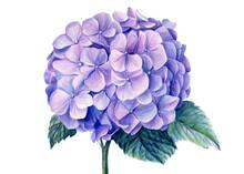 Blue Hydrangea Flowers,, Watercolor Illustration