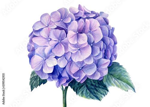 Fototapeta Blue hydrangea flowers,, watercolor illustration
