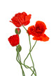 Flowering red garden poppy and undiscovered green buds, isolated