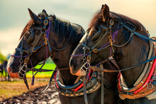 Closeup Of Draft Horses And Thier Work Harnesses
