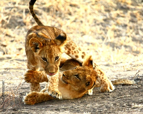 Foto Two wild lion cubs play-fighting in Selous Game Reserve, Tanzania