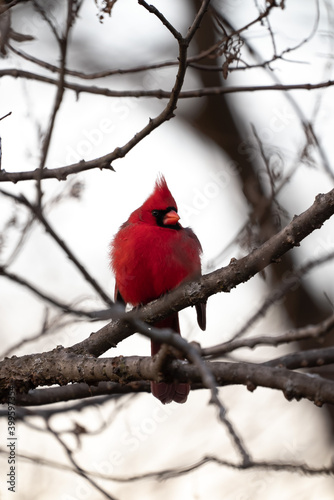 Tableau sur Toile Beautiful single bright red male northern cardinal looking to the side sitting perched in a small tree branch with other branches blurred in the bokeh beyond making an incredible wildlife photograph