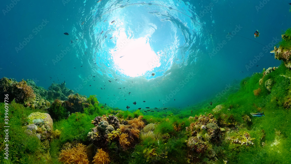Fototapeta The Underwater World of the with Colored Fish and a Coral Reef. Tropical reef marine. Philippines.