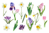 Fototapeta Tulipany - Watercolor spring flowers growing in the garden. Botanical collection. Hyacinth, tulip, daffodils, crocus, iris, snowdrop, narcissus
