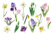Watercolor Spring Flowers Growing In The Garden. Botanical Collection. Hyacinth, Tulip, Daffodils, Crocus, Iris, Snowdrop, Narcissus