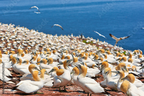 Largest single colony of northern gannets in the world on bonaventure island nea Fototapet