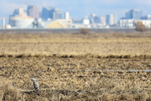 Great Blue Heron On Agricultural Field With Cityscape In The Background
