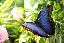 Beautiful Common Morpho Butterfly On Green Plant In Garden