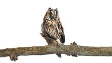 Beautiful Eagle Owl On Twig Against White Background. Predatory Bird