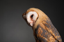Beautiful Common Barn Owl On Grey Background, Closeup