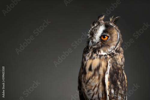 Beautiful eagle owl on grey background. Space for text Poster Mural XXL