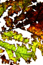 Close Up Of Dried Mulberry Leaf