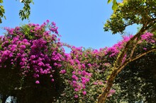 Large Branches Of Pink Bougainvillea Flower Seem To Cover The Blue Sky On A Sunny Day.