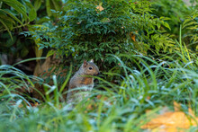 One Cute Grey Squirrel Standing Behind Tall Green Grasses In Front Of A Bush In The Park