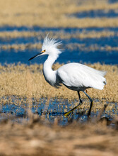 An Angry Snowy Egret With Ruffled Feathers At The San Jacinto Wildlife Area Near Perris In Southern California