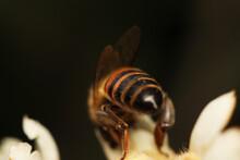 Macro Shot Of A Bee Pollinating