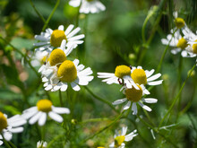 Close-up Of A European Flowering Daisy On Which Spiders, Ants And Other Insects Sit. In The Background Is A Blurry Green Grass.