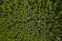 Aerial View Of A Picturesque Coniferous Forest, The Rhodopes In Bulgaria