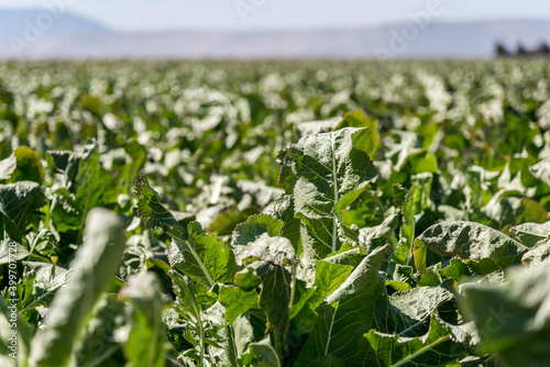 Fotografiet horseradish field