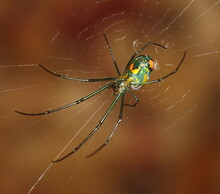 A Macro Photograph Of The Colorful Underside Of An Orchard Orb Weaver Spider.