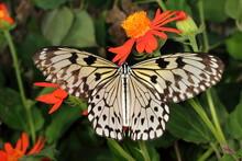 A Paper Kite Butterfly Landing On An Orange Flower. Idea Leuconoe.