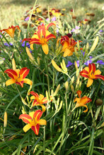 Flowers Of A Day Lily France Halls Brightly And Contrastly Look Among Green Leaves.