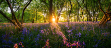 Woodland Bluebell Forest Panorama At Sunset
