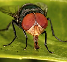 Macro Photograph Of A Green Bottle Fly With It's Hairy Tongue Exposed.