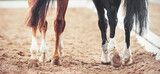 The hooves of two horses - sorrel and black, walking on a sandy outdoor arena at a dressage competition. Horse riding. Equestrian sports.