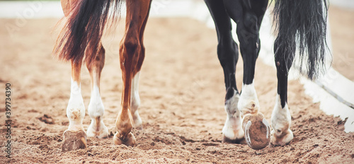 Fototapeta The hooves of two horses - sorrel and black, walking on a sandy outdoor arena at a dressage competition. Horse riding. Equestrian sports. obraz