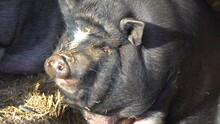 Detail Of A Pig While Yawning. Slow Motion