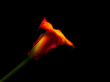 Surrealistic Glowing Red Yellow Calla On Black Background, Fine Art Still Life Color Minimalist Macro Of A Single Blossom