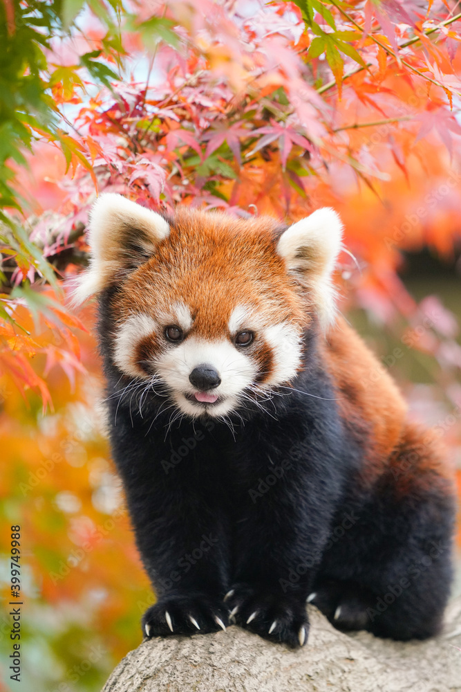 Fototapeta red panda in the autumn forest