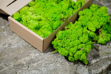 Fresh Green Parsley. Iceland Thick Sterilized Moss For Decoration