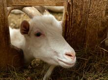 White Goat In Barn. Domestic Dwarf Goat In The Farm. Little Goat Standing In Wooden Shelter.